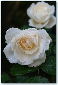 Rose3_4