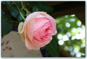 Rose6_1